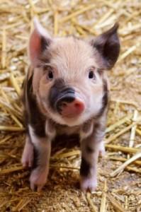cute_piglet_207216